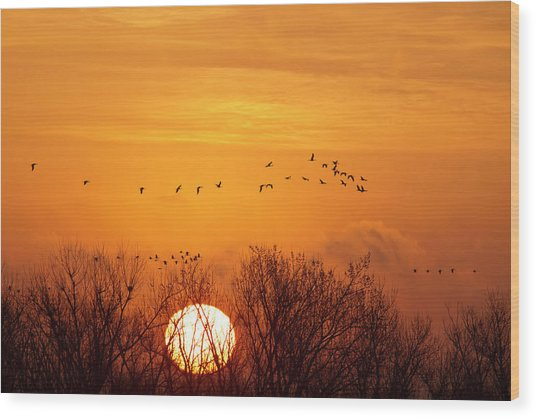 Sandhill Cranes Silhouetted Aginst Wood Print