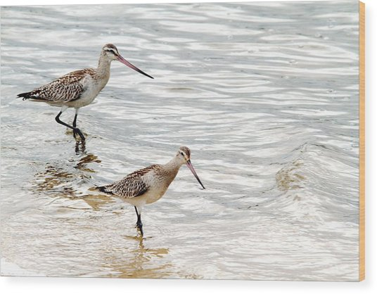 Sandpipers Foraging Wood Print