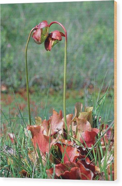 Sarracenia Purpurea Wood Print by Bob Gibbons/science Photo Library
