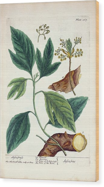 Sassafras Plant Wood Print by National Library Of Medicine