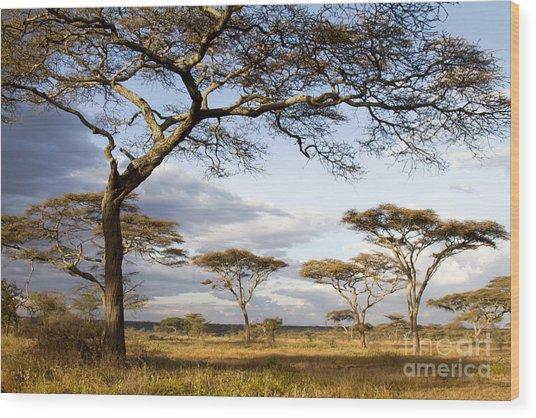 Savanna Acacia Trees  Wood Print