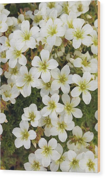 Saxifraga 'white Star' Wood Print by Geoff Kidd/science Photo Library