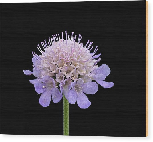 Wood Print featuring the photograph Scabious  by Paul Gulliver