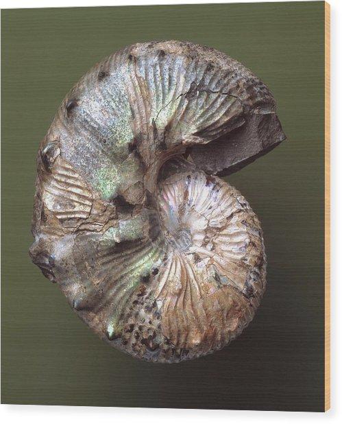 Scaphites Ammonite Fossil Wood Print