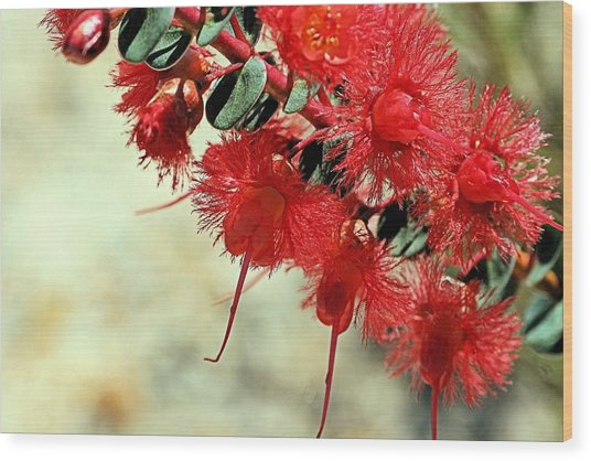 Scarlet Feather Flowers Wood Print