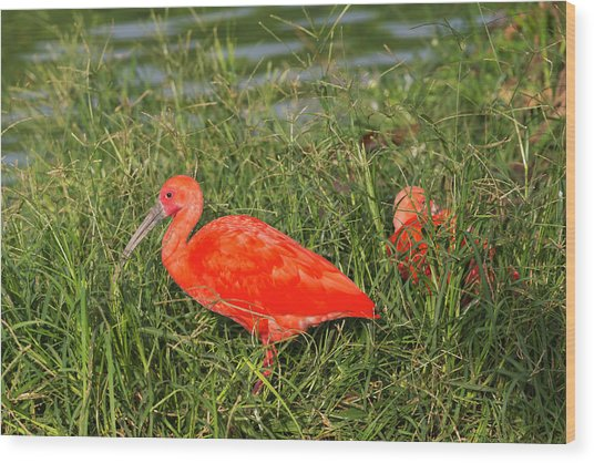 Scarlet Ibis (eudocimus Ruber Wood Print