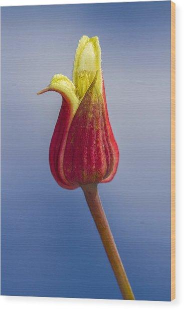 Scarlet Leatherflower Wood Print