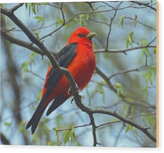 Scarlet Tanager In The Forest Wood Print
