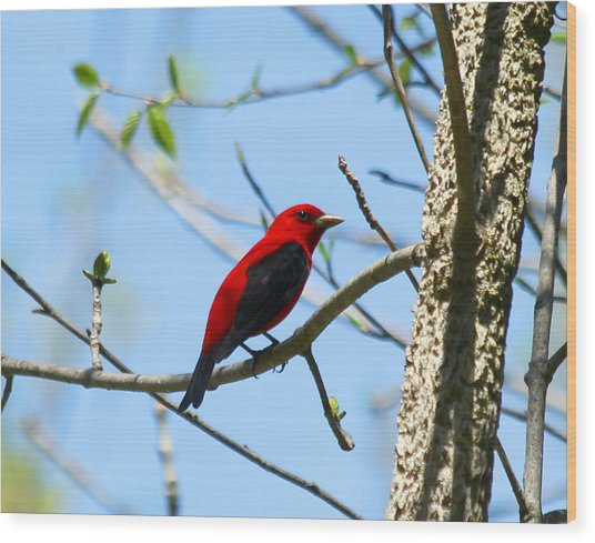 Scarlet Tanager Wood Print by James Hammen