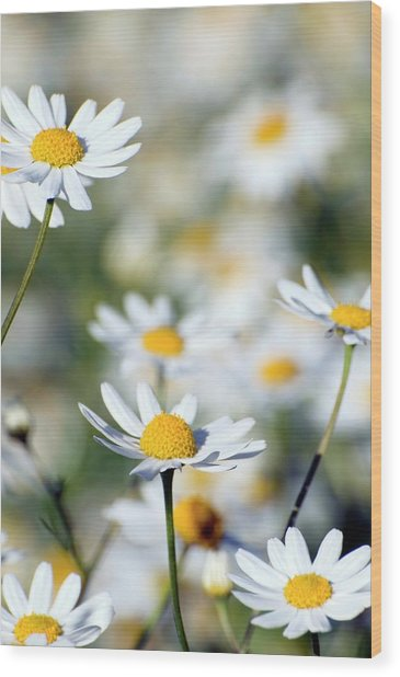 Scentless Mayweed (matricaria Maritima) Wood Print by Dr. John Brackenbury/science Photo Library