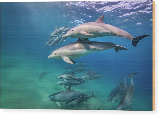 School Of Bottlenose Dolphins Tursiops Wood Print by Peter Pinnock