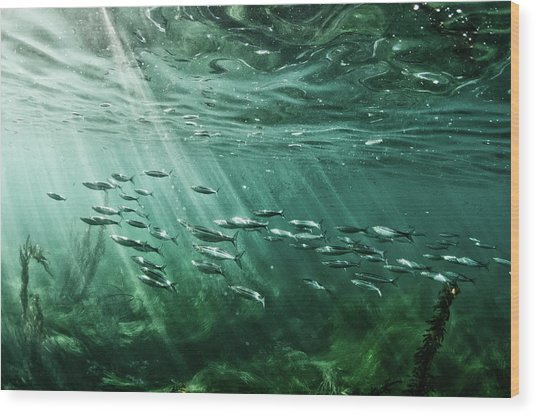 School Of Fish Swim In The Pacific Ocean Wood Print by Ashleywiley