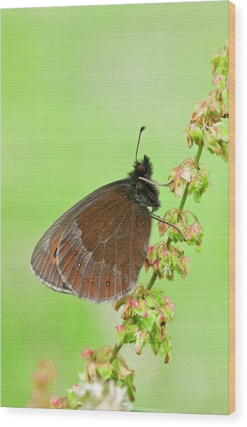 Scotch Argus Butterfly On A Dock Plant Wood Print by Bob Gibbons