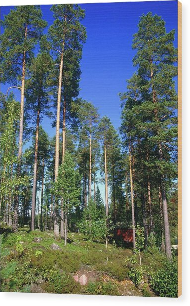 Scots Pine Forest Wood Print by Andrew Brown/science Photo Library