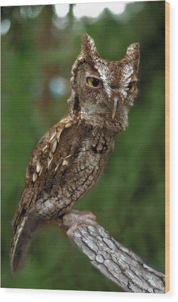 Screech Owl. Seminole County. Wood Print