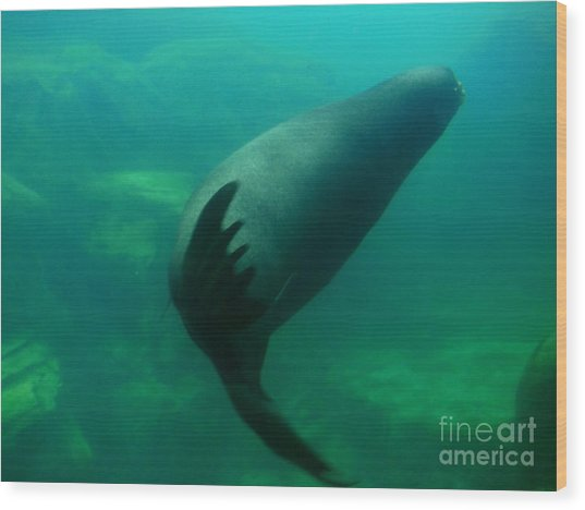 Sea Lion Wood Print by Eclectic Captures