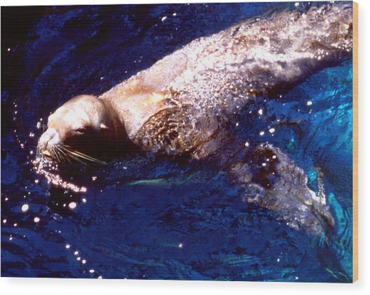 Sea Lion Swim Wood Print by Robert  Rodvik