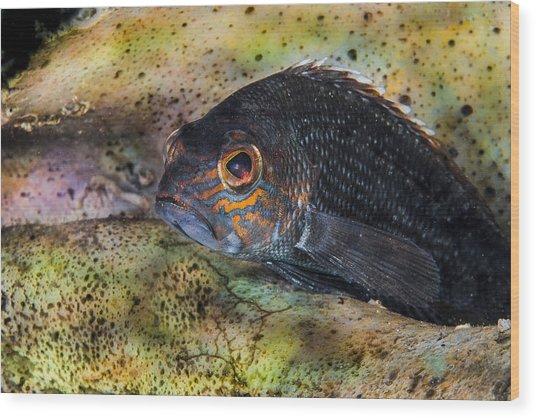Seabass In A Shell Wood Print