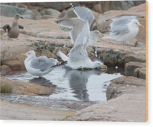 Seagull Swimming Pool - Acadia Wood Print