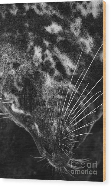 Seal Solitude Wood Print
