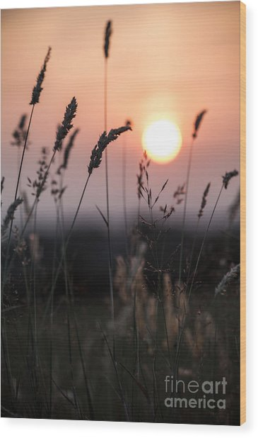 Seed Heads At Sunset Wood Print