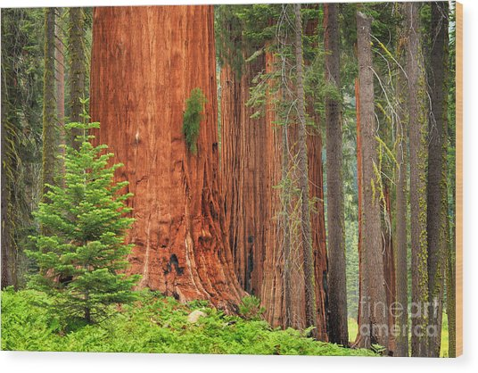 Sequoias Wood Print