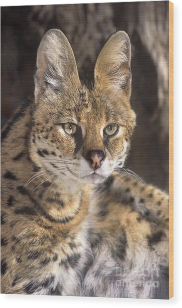 Wood Print featuring the photograph Serval Portrait Wildlife Rescue by Dave Welling
