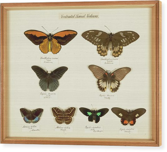 Sexual Dimorphism In Butterflies Wood Print