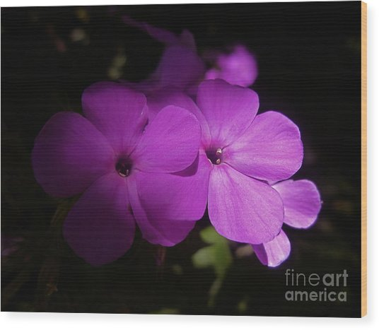 Shadow Phlox Wood Print