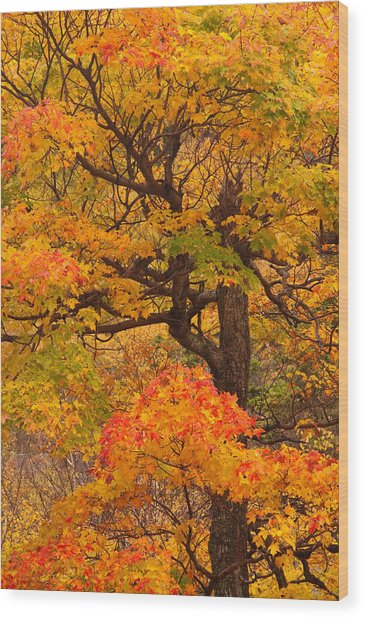 Shapely Maple Tree Wood Print