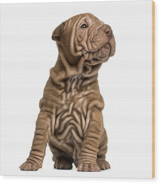 Shar Pei Puppy Sititng, Looking Up Wood Print by Life On White