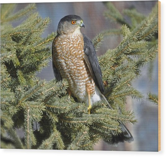 Sharp Shinned Hawk Wood Print