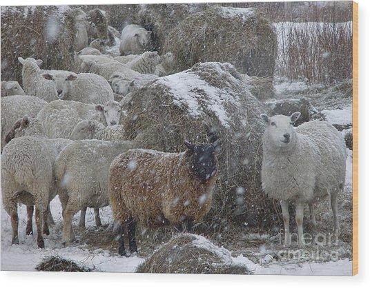Sheep In Snow Wood Print