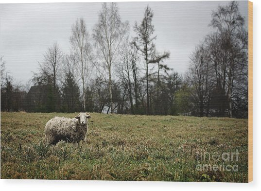Sheep In Village Field Wood Print by Jolanta Meskauskiene