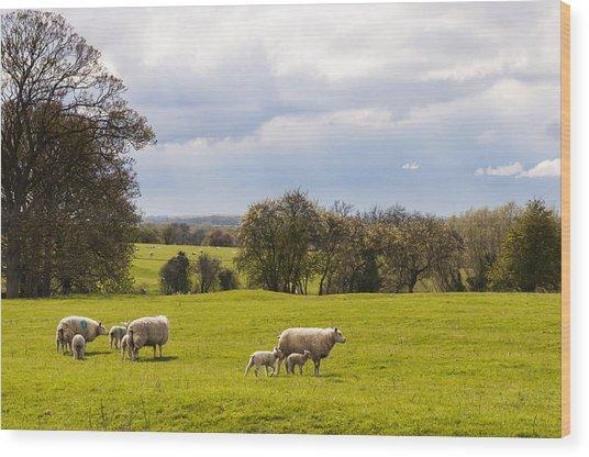 Sheep With Lambs Wood Print