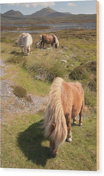 Shetland Ponies Wood Print