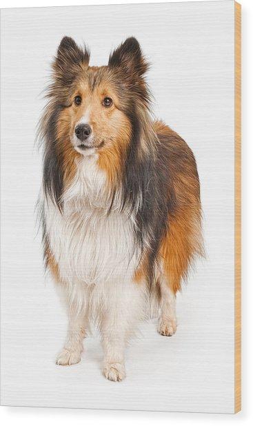 Shetland Sheepdog Dog Isolated On White Wood Print