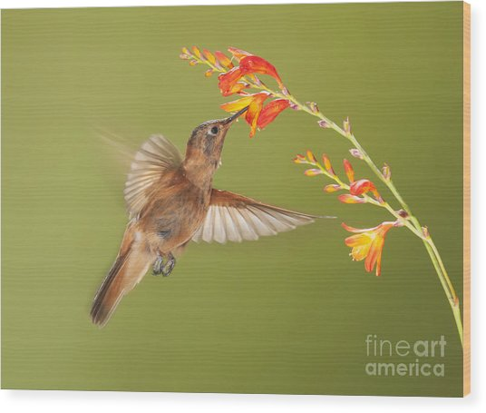 Shining Sunbeam Hummingbird Wood Print