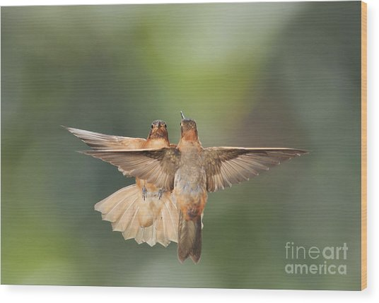 Shining Sunbeam Hummingbirds Wood Print