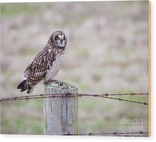 Short Eared Owl Boundary Bay Wood Print