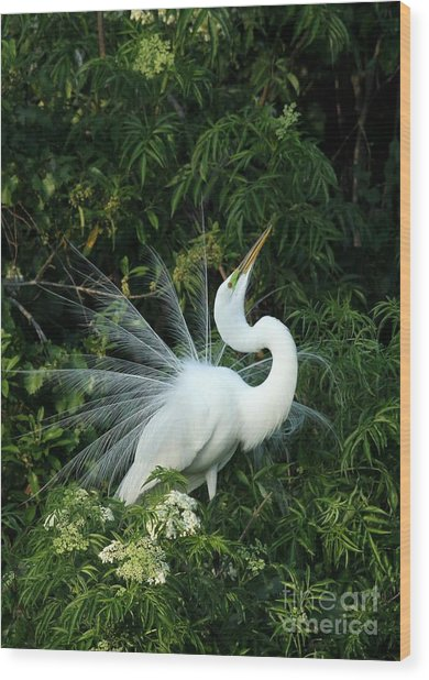 Showy Great White Egret Wood Print
