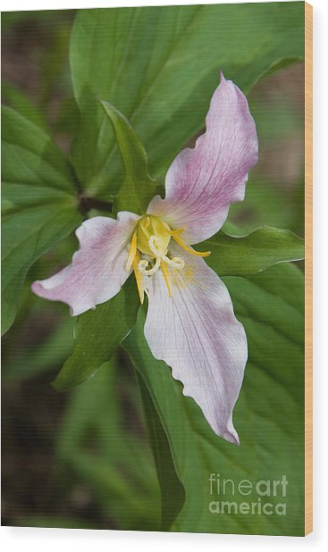 Showy Trillium Flower Wood Print
