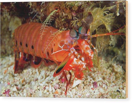 Shrimp On Ocean Floor, Raja Ampat Wood Print