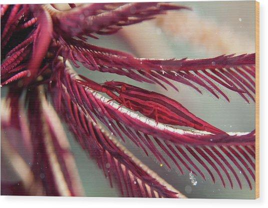Shrimp On The Arm Of A Featherstar Wood Print by Scubazoo