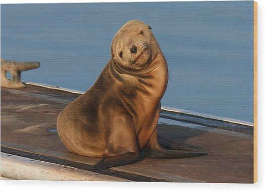 Shy Sea Lion Pup  Wood Print