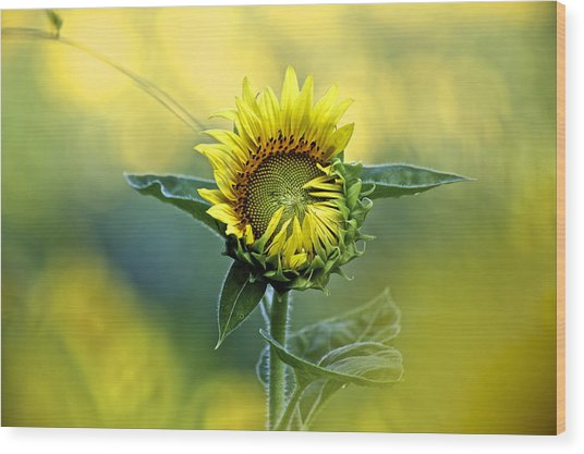 Shy Sunflower Wood Print