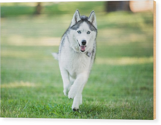 Siberian Husky Dog Running On Grass Outdoors Wood Print by Purple Collar Pet Photography