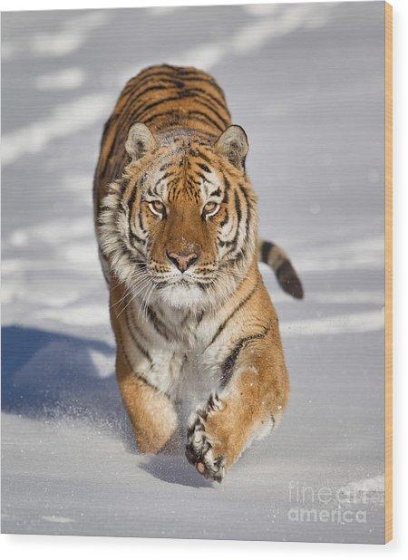 Siberian Tiger Coming Forward Wood Print