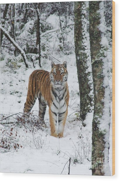 Siberian Tiger - Snow Wood Wood Print