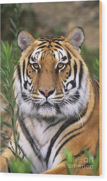 Siberian Tiger Staring Endangered Species Wildlife Rescue Wood Print